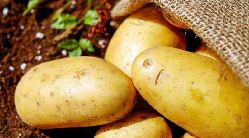 Белорусские ученые разрабатывают особый сорт картофеля